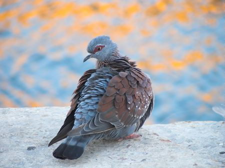 rock pigeon puffing his feathers with water reflections in the background Stock Photo