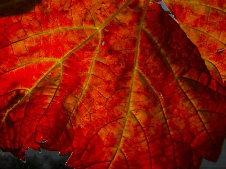 Close-up of a red vine leaf in autumn Stock Photo