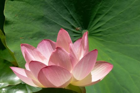 Pink water lily with bee hovering above and green leaves in background