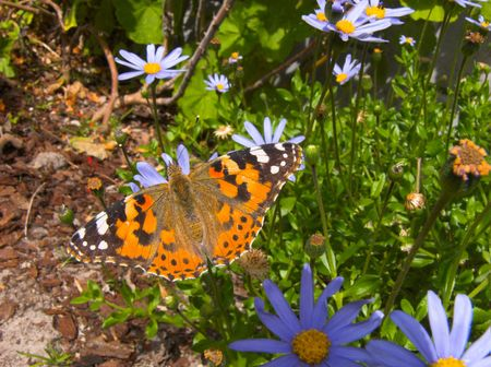 butterfly sitting on blue daisies