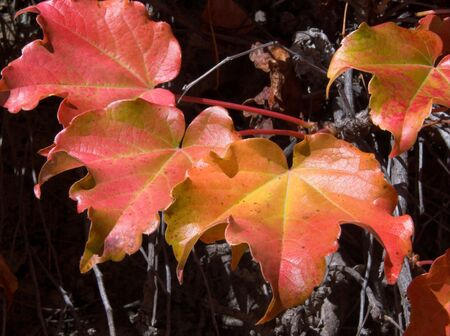 close-up of red ivy leaves in autumn