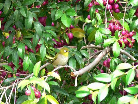 Cape White-eye bird (Zosterops pallidus) sitting in Eugenia or brush cherry tree (Eugenia myrtifolia)