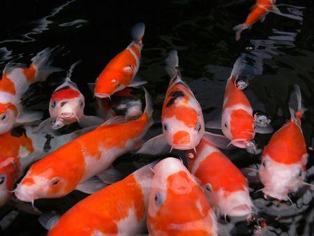 pez carpa: Koi los peces a la espera de ser alimentados