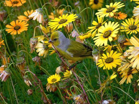 clinging: male Cape canary sitting in ASTERACEAE Ursinia speciosa (Namakwa-ursinia) flowers