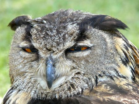 mean looking owl squinting eyes Stock Photo