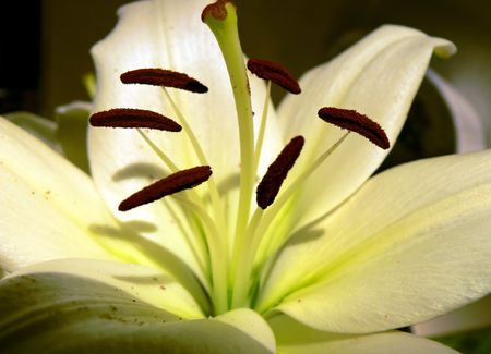 close up of St Josephs lily