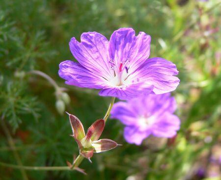 flower (carpet geranium)
