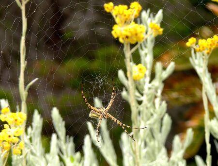 Female Black and Yellow Garden Spider (Argiope australis) spinning her web in ASTERACEAE Helichrysum splendidum (geelsewejaartjie)