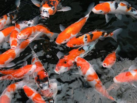 koi fish swimming Stock Photo