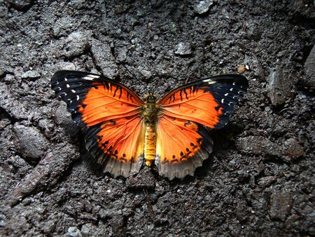 Butterfly sipping moisture from mud Stock Photo