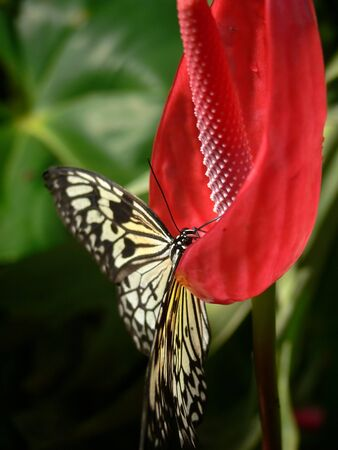 Butterfly sitting on a red Anthurium flower Stock Photo