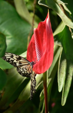 Butterfly sitting on Anthurium flower Stock Photo