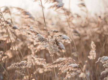 Dry grass sways in the wind in the sun in winter. Beige reed. Beautiful nature trend background. Closeup. Фото со стока - 136115368