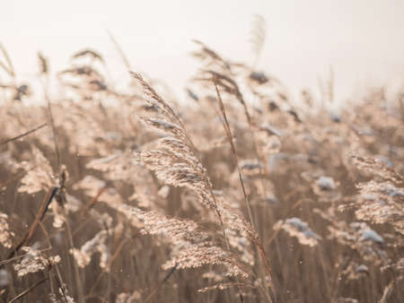 Dry grass sways in the wind in the sun in winter. Beige reed. Beautiful nature trend background. Closeup. Фото со стока - 136115889