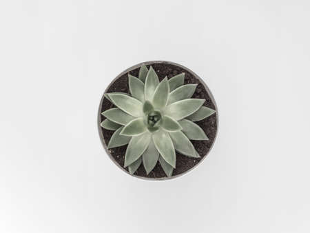 Succulent on a white background. Flat lay, top view minimalistic natural composition.