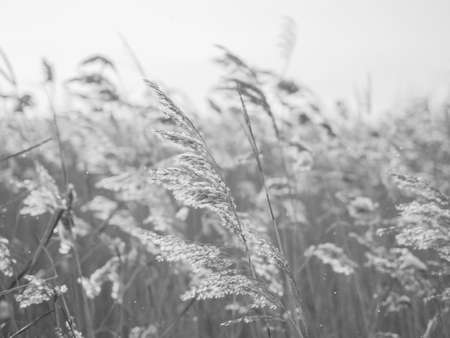Dry grass sways in the wind in the sun in winter. Beige reed. Beautiful monochrome floral background. Closeup Фото со стока
