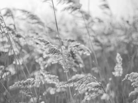 Dry grass sways in the wind in the sun in winter. Beige reed. Beautiful monochrome floral background. Closeup Фото со стока - 137879693