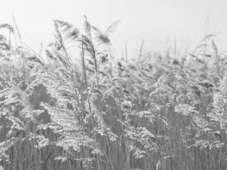 Dry grass sways in the wind in the sun in winter. Beige reed. Beautiful monochrome floral background. Closeup Фото со стока - 137878818