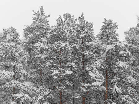 Pine trees in the snow. Forest or park. Beautiful natural winter background.
