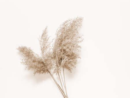 Dry beige reed on a white wall background. Beautiful nature trend decor. Minimalistic neutral concept