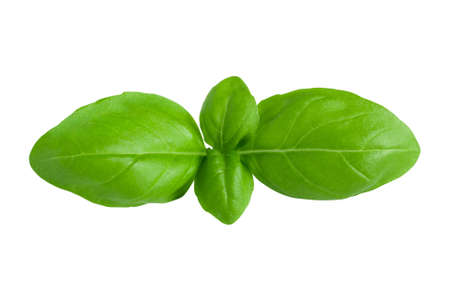 Isolated fresh green basil leaves on white background with clipping path. Healthy food close-up macro shot.