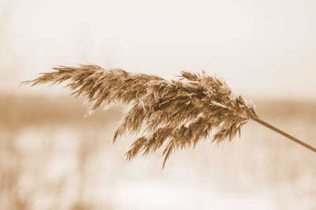 Dry beige reed. Golden grass sways in the wind in the sun in winter. Beautiful abstract nature trend background. Minimal concept. Closeup