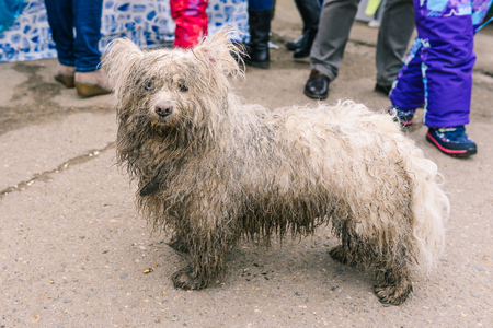 The domestic dog was lost in the city. The animal is looking for its home. Wet, dirty white dog close-up. Wet wool