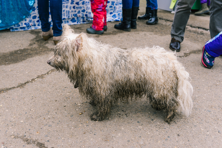 A stray dog is looking for its owners. Lost dog. Wet, dirty wool