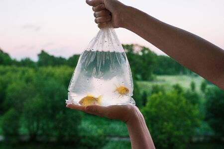 Transparent package with purchased aquarium fish. Hands holding a bag of gold fish. Two goldfish in plastic packaging. Evening time of day. In the background forest, trees, bushes