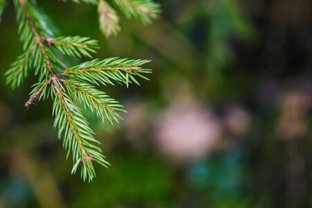 Spruce branch. Beautiful branches of spruce with needles. Conifer in nature. Branches ate close-up. Copy space. Stock Photo