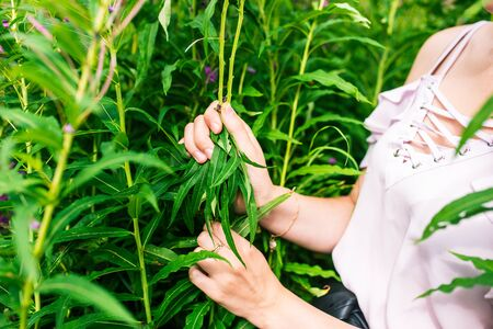 A woman collects leaves of willow grass in the summer. Narrow-leaved plant Ivan Tea