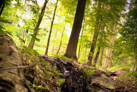 Beautiful Green Pine Forest in Europe Stock Photo - 17372632