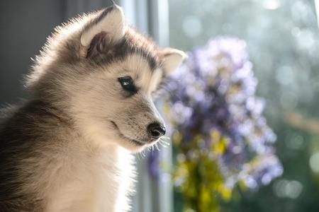 cute puppy of alaskan malamute run outdoor on grass in garden at sunset near doghouse box
