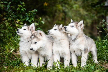 group of cute puppy of alaskan malamute run outdoor on grass in garden at sunset near doghouse box