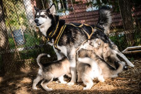 dog feeds puppies alaskan malamute outdoor on grass in garden at sunset near doghouse box Stock Photo