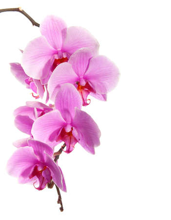 purple orchid: pink orchid isolated on white background Stock Photo
