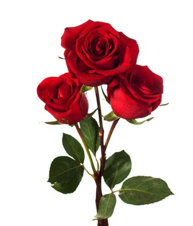 세 어두운 빨간 장미는 흰색에 고립