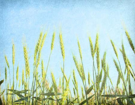 vintage paper  field of wheat  photo