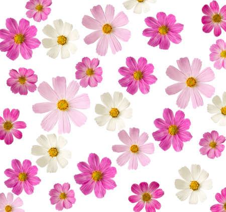 varieties: floral background  pink flowers isolated on a white background  Cosmea
