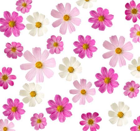 virágos háttér rózsaszín virágok elszigetelt fehér alapon Cosmea Stock fotó