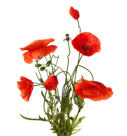 poppy leaf: red poppies isolated on white