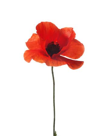 red poppy isolated on white  studio shot