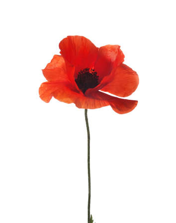 red poppy isolated on white  studio shot