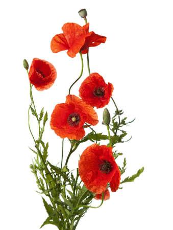 fleurs des champs: coquelicots rouges isolé sur blanc Banque d'images