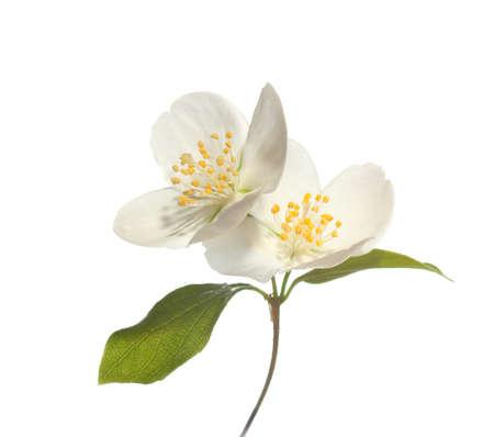 jázmin virágok elszigetelt fehér háttér Stock fotó