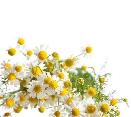százszorszép virág elszigetelt fehér háttér