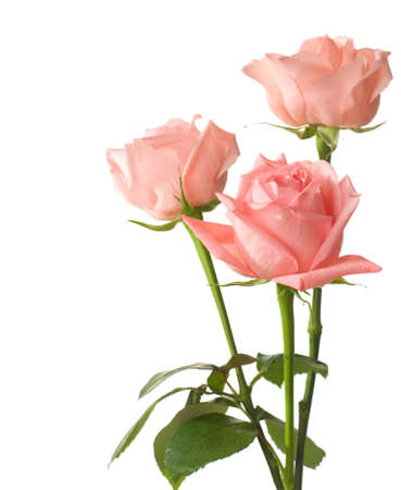 three presents: three pink  roses isolated on white Stock Photo