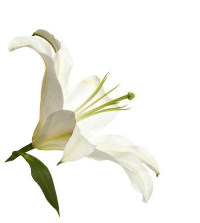 lirio blanco: lirio blanco aislado en un fondo blanco. Foto de archivo
