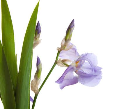 isolated irises: spring pastel Iris isolated on a white background. Stock Photo