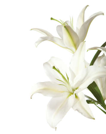 lily buds: two white lily isolated on white background
